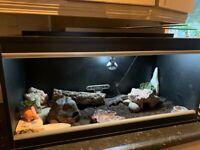 2yr old Mack Snow Leopard Gecko & Full Set Up