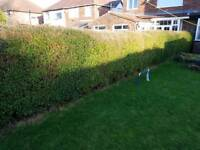 Hedges - about 40 feet of mature hedges