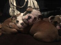 Tripple Carrie English bulldogs for sale - at /dD/bB