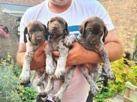 GSP pups
