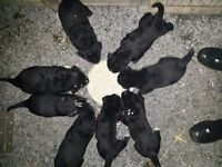 Adorable litter of 8 Labrador puppies.