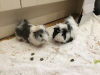 2 very friendly boy guinea pigs for sale
