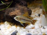 Four stunning six-month-old male Cockatoo Cichlids (Apistogramma Cacatuoides) for sale.