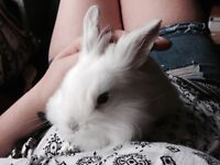 1 Year Old White Lionhaired Lop Rabbit, Very Loveable, Needs a New Home. All equipment included.