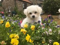 Beautiful Bichon x Chichuchua puppies ready to go