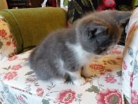 Beautiful Exotic/British Short Hair Grey & White Male Kitten fully Vaccinated, Wormed & Flead etc