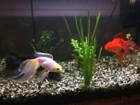 Two fantailed Goldfish to give away