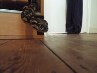 Stunning Large Jungle Carpet Python and Huge Vivariam