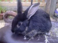 LOVELY FRIENDLY RABBIT JUST OVER 2 MONTHS OLD