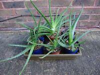 Plants, 2 big aloe vera plants, 4-5 years old