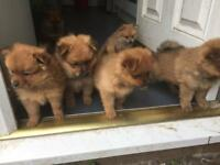 Pomeranian puppies 1 girl left no time wasters