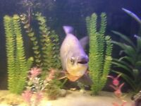 Pacu 18 inch Tropical Fish
