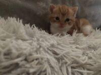Purrrect boy kitten for sale