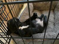 Ready 29/10 Fluffy Carrier KC Reg Assured breeder French bulldog puppies