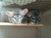 2 chinchillas and a degu