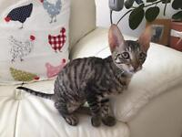 Cornish Rex female kitten for sale