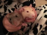 Two Female Rats 1 year old with cage and accessories - tame/friendly