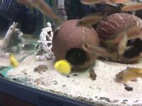 cichlid coconut caves
