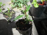 Plants for sale- Penstemon `Burgundy' plant in fabric pot