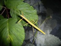 Indian Stick Insect Nymphs - L1 - L4