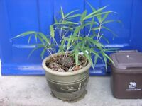 Bamboo Plant In Eartenware Pot Weymouth Free Local Delivery