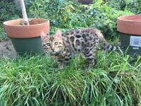 Stunning Pure Bengal Kittens Available Now!