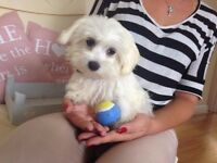 MALTESE PUPPIES FOR SALE GIRL AND BOY LOVELY AND SWEET