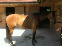 5 year old mare 16hh Ex race horse