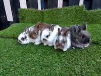 Adorable pure Netherlands dwarf baby rabbits
