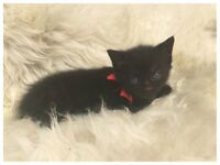 British Shorthair X Norwegian Forest Gorgeous 5 kittens