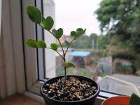 Guaiacum officinale/ Lignum Vitae seedling