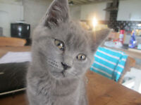 Blue British Shorthaired Boy for sale