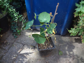 Nasturtium plant with a seed and a flower bud