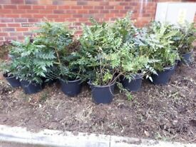 Mahonia plants taken out from one of our jobs, rather than throw away....