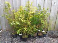 Conifer hedging plants
