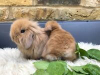 Mini Lion Lop Baby Buck Ready to Reserve