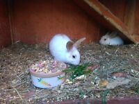 Rabbits for sale £25 each very friendly wee animals