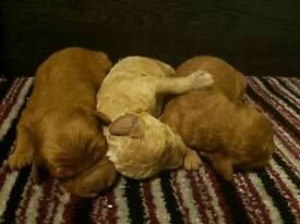 Three male cavapoos