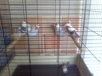 zebra finches x 10 pairs 65 pound the lot no offers text pick up only