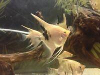 Angelfish £2-3