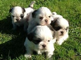 Beautiful Puppy For Sale In St Austell Cornwall Gumtree