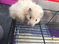 Baby long haired Syrian hamster