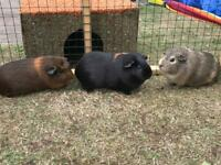3 female Guinea Pigs for sale (14 months old) with 2-storey cage and run (No Longer Available)