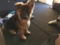 German shepherd 7 month old puppy.