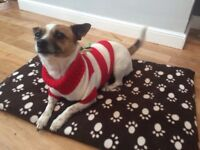 Missing on Saturday jack Russell x chihuahua
