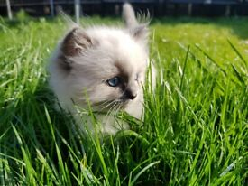 Gorgeous Ragdoll Blue Point Mitted Girl