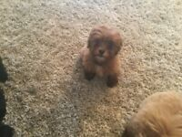 Shihpoo puppy last one out of the litter 550