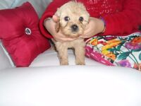 beautiful lhasapoo puppies 5 for sale 4 boys 1 girl ready now very curly