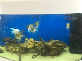 Various angel fish for sale