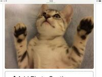 Egyptian mau kittens ready now